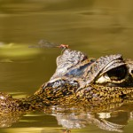 Caiman & Dragonfly