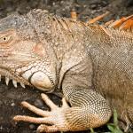 Iguana-9690
