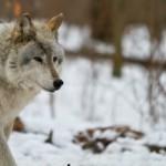 Wolf-0163