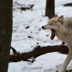 Wolf-0172