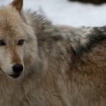 Wolf-0175