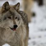 Wolf-0193