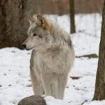 Wolf-0214
