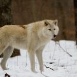 Wolf-0223