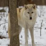 Wolf-0226