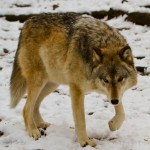 Wolf-0231