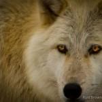 Wolf-0239