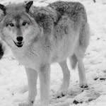 Wolf-0270