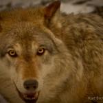 Wolf-0270-2