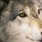 Wolf-0284