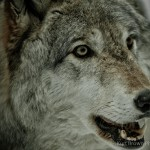 Wolf-0285