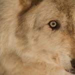 Wolf-0349