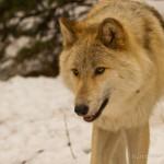 Wolf-0425