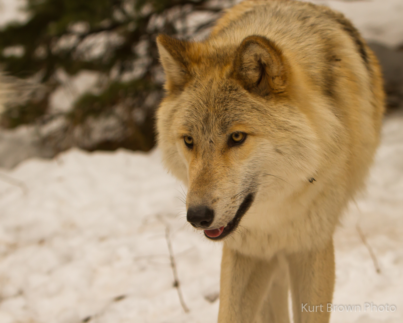 Light brown wolf with blue eyes - photo#14