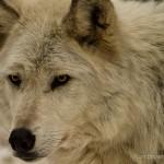 Wolf-0435