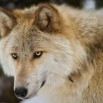 Wolf-0459