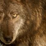 Wolf-0597