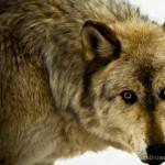 Wolf-0769