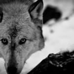 Wolf-0771-1