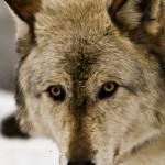 Wolf-0775