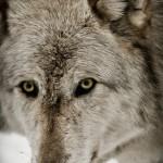 Wolf-0776